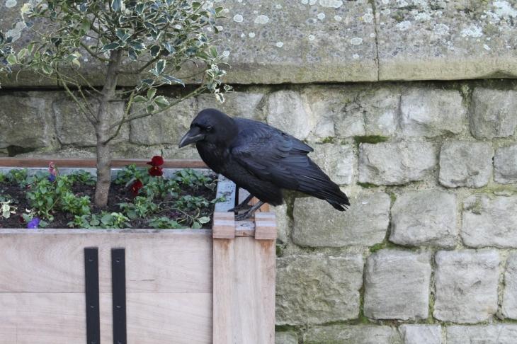 Fat Raven